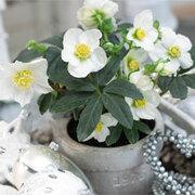 Hellebore 'Christmas Carol' - 2 x 12cm potted hellebore plants