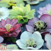 Hellebore 'Breeder's Mix' - 5 hellebore jumbo plug plants