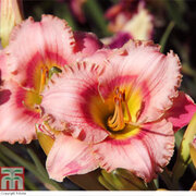 Hemerocallis 'Strawberry Candy' - 3 hemerocallis bare root plants