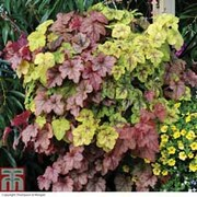 Heucherella 'Trailing Collection' - 3 heucherella jumbo plug plants