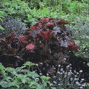 Heuchera villosa 'Palace Purple' (Large Plant) - 1 x 2 litre potted heuchera plant