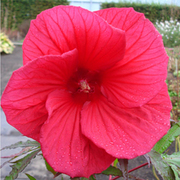 Hibiscus 'Fireball' (Large Plant) - 2 x 1 litre potted hibiscus plants