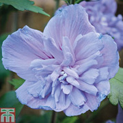 Hibiscus syriacus 'Blue Chiffon' (Large Plant) - 1 x 3.6 litre potted hibiscus plant