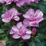 Hibiscus syriacus 'Lavender Chiffon' (Large Plant) - 1 x 3.6 litre potted hibiscus plant