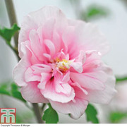 Hibiscus syriacus 'Pink Chiffon' (Large Plant) - 1 x 3.6 litre potted hibiscus plant