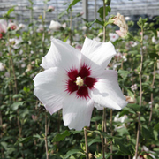 Hibiscus syriacus 'Shintaeyang' (Large Plant) - 1 x 3.6 litre potted hibiscus plant