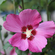 Hibiscus syriacus 'Woodbridge' (Large Plant) - 1 x 3.6 litre potted hibiscus plant