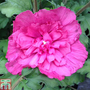 Hibiscus syriacus 'Magenta Chiffon' - 1 x 3 litre potted hibiscus plant