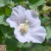 Hibiscus syriacus 'Diana' - 1 x 3 litre potted hibiscus plant