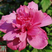 Hibiscus syriacus 'Freedom' - 1 x 3 litre potted hibiscus plant