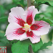 Hibiscus syriacus 'Hamabo' - 1 x 3 litre potted hibiscus plant