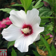 Hibiscus syriacus 'Helene' - 1 x 3 litre potted hibiscus plant