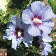 Hibiscus syriacus 'Marina' - 1 x 3 litre potted hibiscus plant