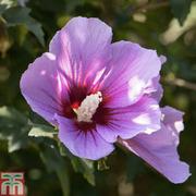 Hibiscus syriacus 'Purpureus Variegatus' - 1 x 3 litre potted hibiscus plant