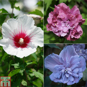 Hibiscus syriacus Collection (Large Plant) - 1 x 'Blue' 3 litre potted hibiscus plant