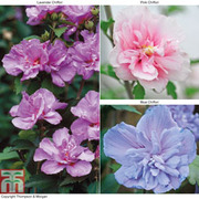 Hibiscus syriacus 'Chiffon' Collection - 3 x 3 litre potted hibiscus plants - 1 of each variety