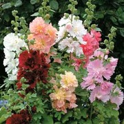 Hollyhock 'Spring Celebrities Mixed' (Annual) - 1 packet (20 hollyhock seeds)