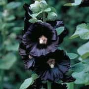 Hollyhock 'Nigra' - 1 packet (50 hollyhock seeds)