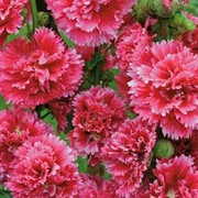 Hollyhock 'Fiesta Time' - 1 packet (35 hollyhock seeds)