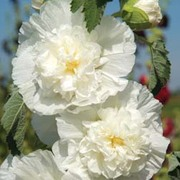 Hollyhock 'Chater's Double Icicle' - 1 packet (100 hollyhock seeds)