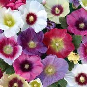 Hollyhock 'Halo Mixed' - 1 packet (25 hollyhock seeds)