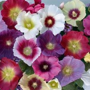 Hollyhock 'Halo Mixed' - 5 hollyhock Postiplug plants