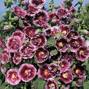 Hollyhock 'Creme de Cassis' (Large Plant) - 1 x 1 litre potted hollyhock plant
