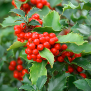 Holly (Hedging) - 1 x 9cm potted hedging plant