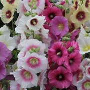 Hollyhock 'Good Golly Miss Holly' - 1 packet (20 hollyhock seeds)