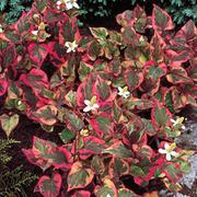 Houttuynia cordata 'Chameleon' (Large Plant) - 1 x 3.5 litre potted houttuynia plant