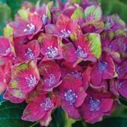 Hydrangea macrophylla 'Glam Rock' (Horwack) - 1 x 9cm potted hydrangea plant