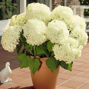 Hydrangea arborescens 'Annabelle' (Large Plant) - 1 x 10.5cm potted hydrangea plant
