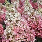 Hydrangea paniculata 'Pinky Winky' (Large Plant) - 1 x 10.5cm potted hydrangea plant
