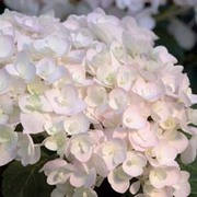 Hydrangea macrophylla 'Endless Summer - Blushing Bride' (Large Plant) - 1 x 5 litre potted hydrangea plant