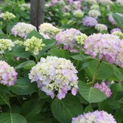 Hydrangea macrophylla 'Endless Summer - The Original' (Large Plant) - 1 x 3 litre potted hydrangea plant
