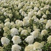 Hydrangea paniculata 'Bobo' (Large Plant) - 1 x 3.5 litre potted hydrangea plants
