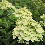 Hydrangea paniculata 'Little Lime' (Large Plant) - 1 x 3.5 litre potted hydrangea plants