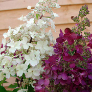 Hydrangea paniculata 'Candlelight' (Large Plant) - 1 x 3.5 litre potted hydrangea plant