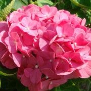 Hydrangea macrophylla 'King George V' (Large Plant) - 1 x 3.6 litre potted hydrangea plant