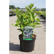 Hydrangea macrophylla 'Lanarth White' (Large Plant) - 1 x 3.6 litre potted hydrangea plant