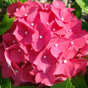 Hydrangea macrophylla 'Leuchtfeuer' (Large Plant) - 1 x 3.6 litre potted hydrangea plant