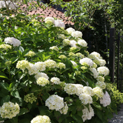 Hydrangea macrophylla 'Soeur Therese' (Large Plant) - 1 x 3.6 litre potted hydrangea plant