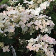 Hydrangea paniculata 'Early Sensation' (Large Plant) - 1 x 3.6 litre potted hydrangea plant