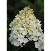 Hydrangea paniculata 'Silver Dollar' (Large Plant) - 1 x 3.6 litre potted hydrangea plant