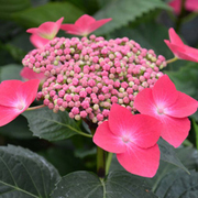 Hydrangea macrophylla 'Kardinal' (Teller Red) (Large Plant) - 1 x 5 litre potted hydrangea plant