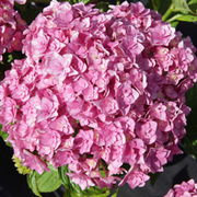 Hydrangea macrophylla 'Forever & Ever - Together' (Large Plant) - 1 x 3.6 litre potted hydrangea plant