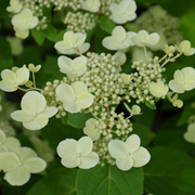 Hydrangea paniculata 'Sparkling' (Large Plant) - 1 x 5 litre potted hydrangea plant