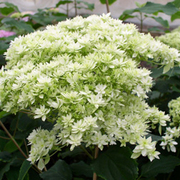 Hydrangea arborescens 'Hayes Starburst' (Large Plant) - 1 x 5 litre potted hydrangea plant