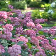 Hydrangea arborescens 'Pink Annabelle' (Large Plant) - 1 x 3 litre potted hydrangea plant