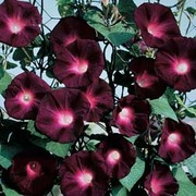 Morning Glory 'Kniolas Black Night' - 1 packet (30 morning glory seeds)